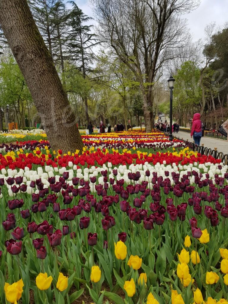 laleventure tulip lale turkey istanbul lale festivali tulip festival Emirgan Park