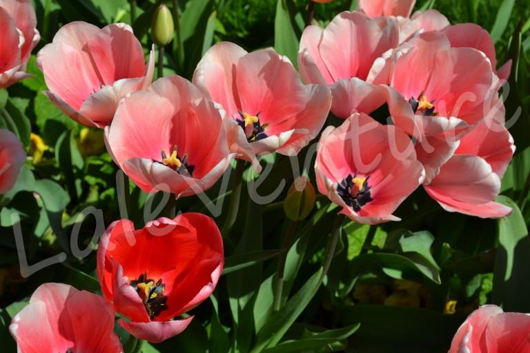 laleventure tulip lale turkey istanbul lale festivali tulip festival